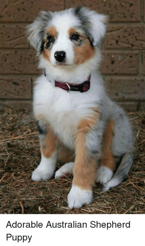 australian shepherd puppies maine 25 best memes about australian shepherd puppy australian shepherd puppy memes