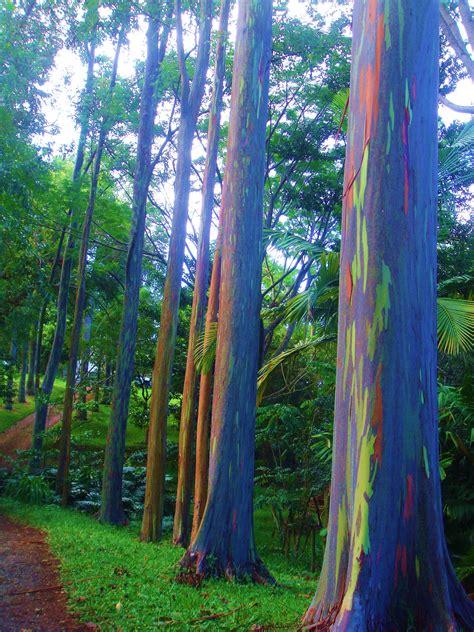rainbow eucalyptus rainbow eucalyptus life s kaleidoscope