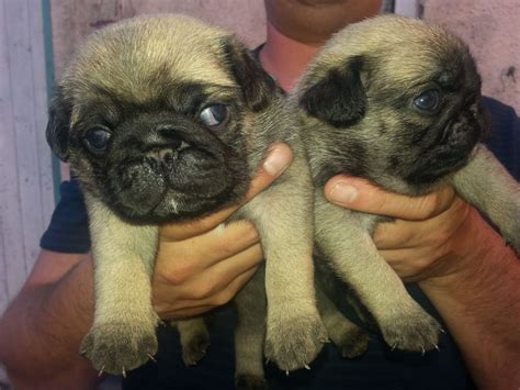 pugs for sale in leicester two handsome pugs for sale leicester leicestershire pets4homes