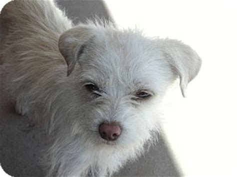 yorkie rescue nm las cruces nm yorkie terrier terrier unknown type small mix meet