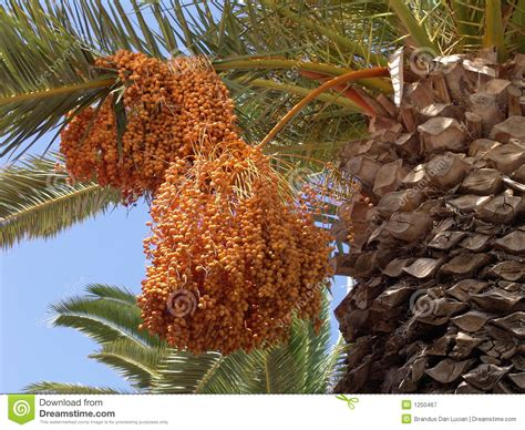 palm trees that fruit palm tree fruits royalty free stock photography image