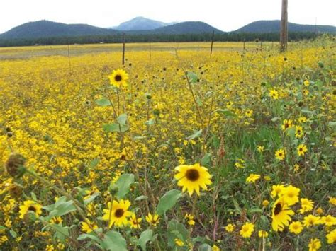 sunflower field off route 15 in northern new jersey near sparta so in my element picture of williams arizona tripadvisor