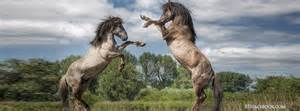 Nature horses mating horses lovers facebook timeline cover banner