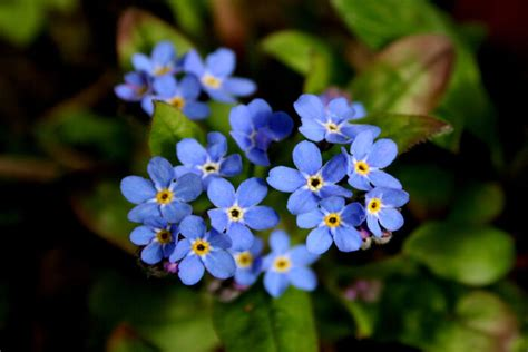fiore definition blue flowers meaning flower meaning