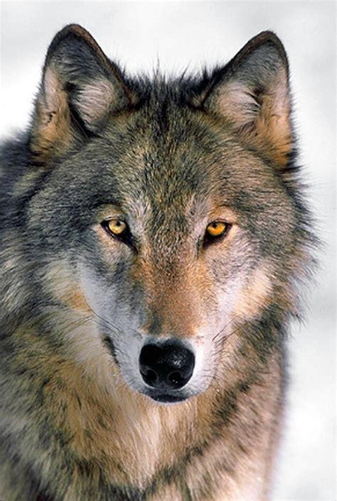 wolf s montana fwp holding hearings tonight on increasing wolf