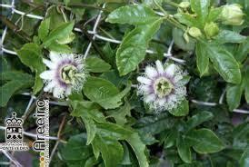 passiflora in vaso passiflora edulis in vaso balestrate palermo