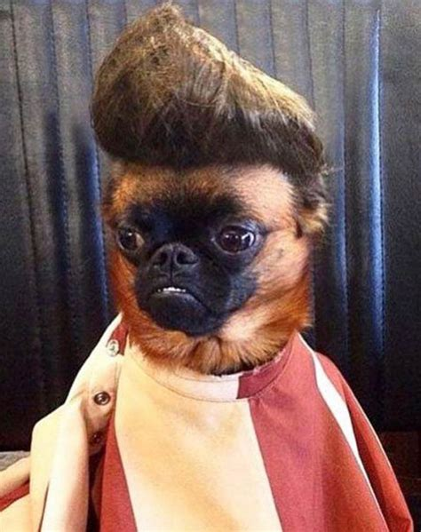 hair pug hair styles pug 12 best images about pugs in wigs on best myles a name in