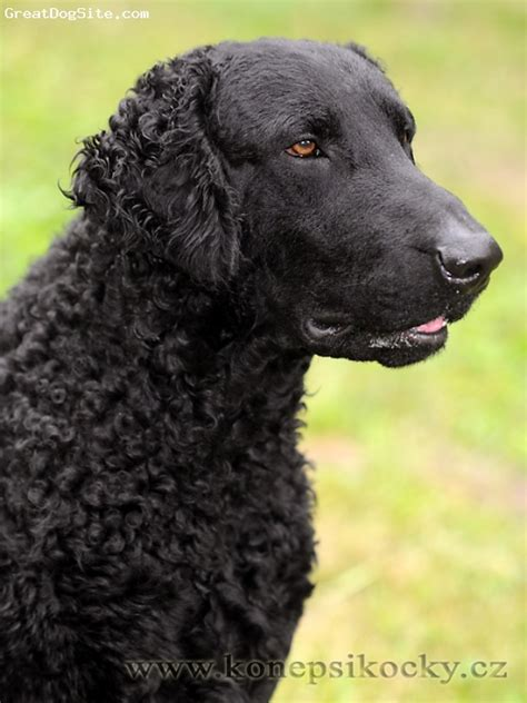 Curly Coated Retriever on Pinterest | Pet Portraits, Dogs ...