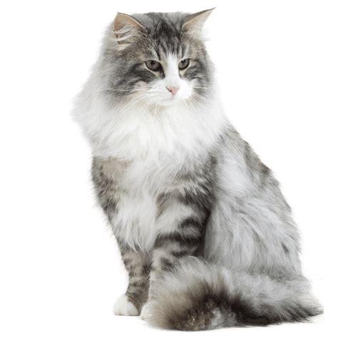 Cha T chat chat des for 234 ts norv 233 giennes chat et chaton fiche