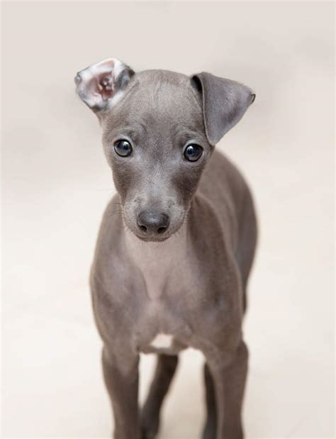 italian greyhound puppies beautiful greyhound puppies and grey on