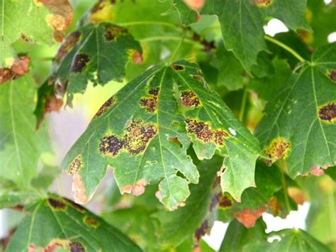 maple tree diseases maple tree blight no cause for concern expert says shorewood wi patch