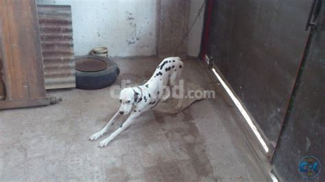 original breeds original breed dalmatian clickbd