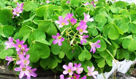 Oxalis by Wild Edible Plants Wood Sorrel Oxalis Acetosella