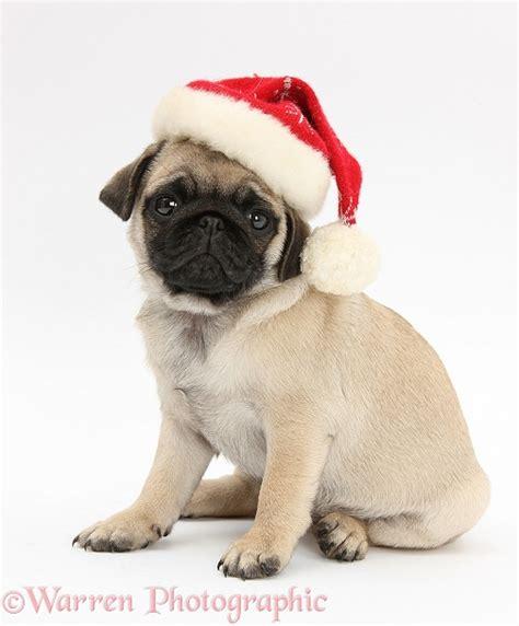 pug in santa hat fawn pug pup 8 weeks wearing a santa hat photo wp26585