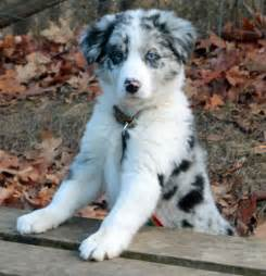 Blue merle border collie puppies for sale blue merle border collie