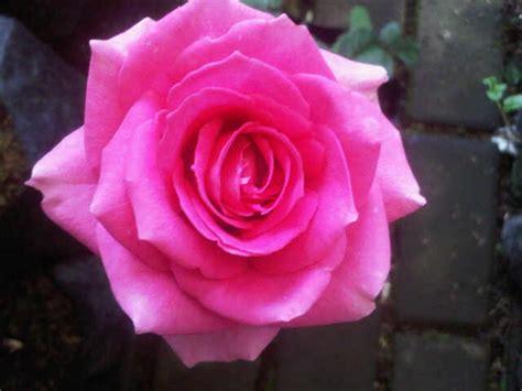 Tanaman Hias Mawar Pink tanaman mawar pink pink jual tanaman hias