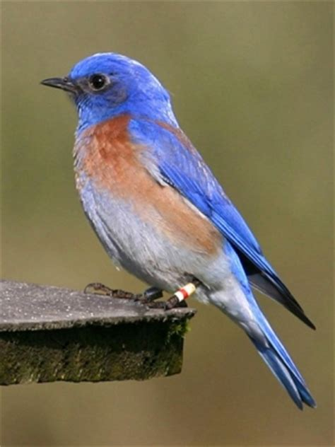birds of st charles county mo eastern bluebird