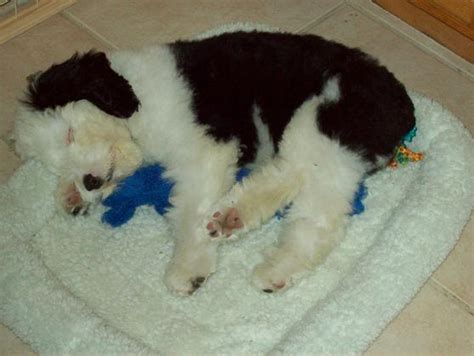 doodlebug photography indiana sheepadoodle puppies breeds picture