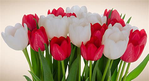 tulips or roses for valentines 3 flowers for s 2015 huffpost
