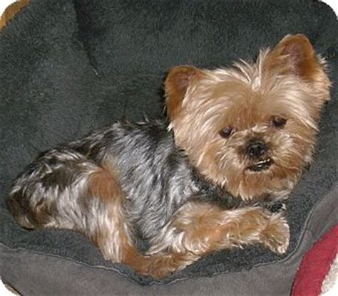 yorkie puppies for adoption in california yorkie terrier for adoption in california bailey