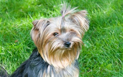 yorkie problems terrier tracheal collapse ufaw