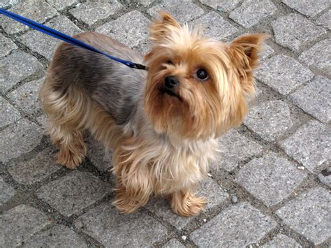grown yorkies picture of grown yorkie breeds picture