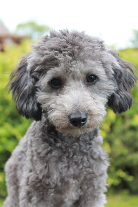 silver poodle puppy silver poodle boy for stud dl reg skipton pets4homes
