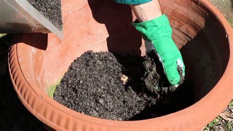 coltivare zenzero vaso coltivazione zenzero in vaso