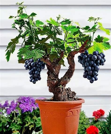 cost of fruit trees 25 best ideas about bonsai fruit tree on