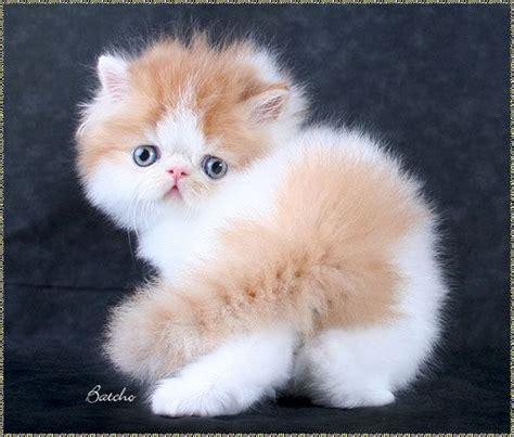 persian cats in orlando my persian kittens persian persian kittens cats ii pinterest persian pets