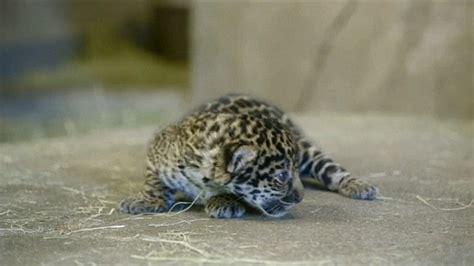 Baby Jaguar Roar Jaguar Cub Roars As It Makes Debut At San Diego Zoo