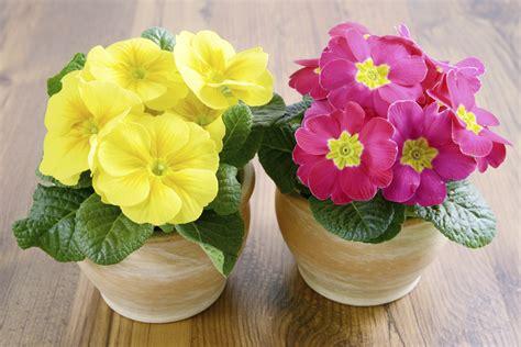 plant care guide   grow  care   primrose plant