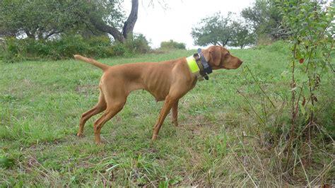 types of bird dogs bird breeds puppies