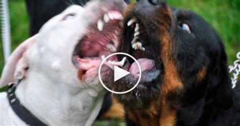 vicious breeds most dangerous breeds in the us dogs breed sierramichelsslettvet