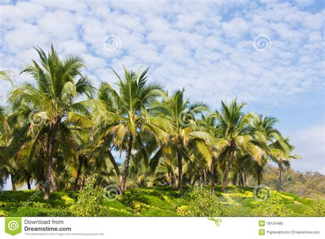Garden Of Coconut Coconut Trees In The Garden Stock Photo Image 18134480