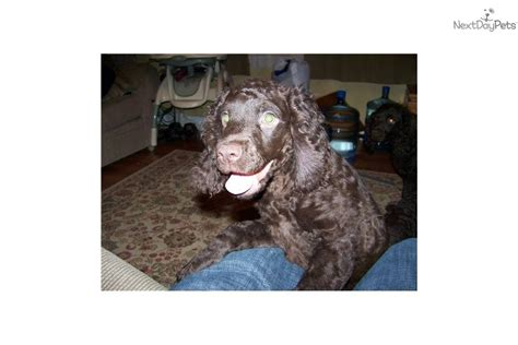 water spaniel puppies for sale american water spaniel puppy for sale near south jersey new jersey b9934a91 47c1