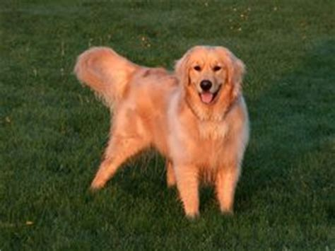 golden retriever shedding season pet grooming golden retriever
