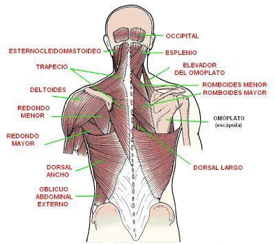 de cadenas y hombres pdf m 250 sculos de la espalda cuello y hombros cadenas