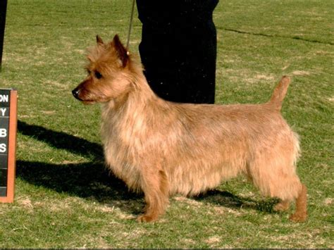 australian terrier puppies australian terrier puppies for sale akc marketplace