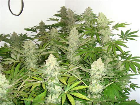 cultivo interior cultivo interior de marihuana blog del grow shop alchimia