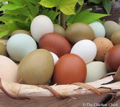 8 tips for clean eggs from backyard chickens the chicken