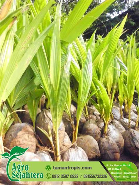 Bibit Kelapa Entok jual bibit kelapa entok