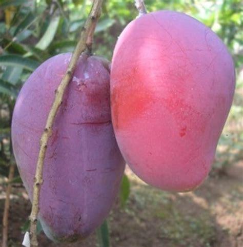 Bibit Mangga Irwin Di Lung tanaman mangga irwin jual tanaman hias