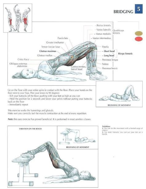 glute muscles diagram bridging leg exercises