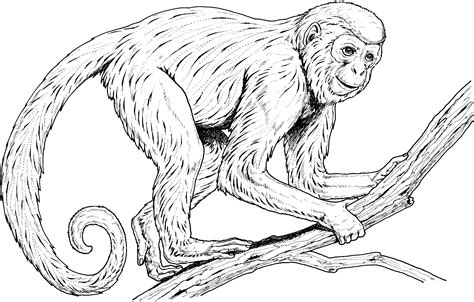 capuchin monkey coloring pages primate coloring pages