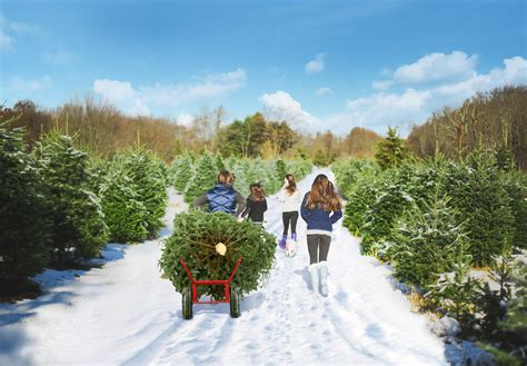 pick your own christmas trees in ct visit ct