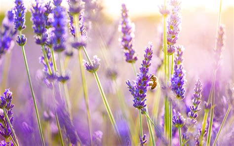 purple flower with bee wallpaper desktop bee enjoying fresh lavender flowers hd wallpapers