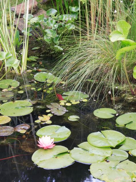 adding plants to your garden pond hgtv