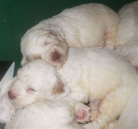 clumber spaniel puppies clumber spaniel puppies ready now holt norfolk pets4homes