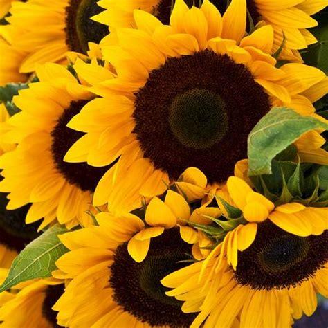 Grey Sunflower sunflower quot mammoth grey stripe quot seeds